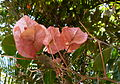 Fleurs de bougainvilliers.JPG