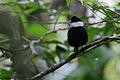 Flickr - Rainbirder - White-ruffed Manakin (Corapipo altera) displaying male.jpg