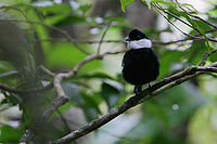 Flickr - Rainbirder - White-ruffed Manakin (Corapipo altera) displaying male.jpg