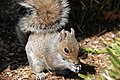 Flickr - USCapitol - Capitol Hill Squirrel.jpg