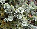 Flickr - brewbooks - Abies procera 'Blau hexe'.jpg