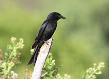 Flickr - don macauley - A drongo at Sabaki River.jpg