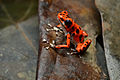 Flickr - ggallice - Strawberry dart frog (1).jpg