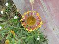 Flor a Zaña.jpg
