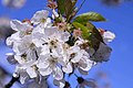 Flor d'ametler.jpg