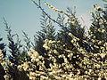 Flores de ciruelo.JPG