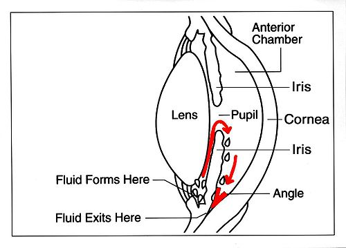 Flow of aqueous humour eye EDA02.JPG