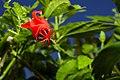 Flower - Uganda 07.jpg