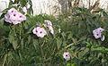Flower SIIMAI OONAN.jpg