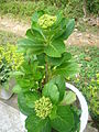 Flower Yesterday Today Tomorrow Srimongol Sylhet Dhaka.JPG