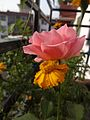 Flower found at Shivapuri National Park 02.jpg