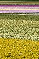 Flowers fields in Texel - panoramio.jpg