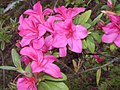Flowers in Hehuanshan 01.jpg