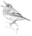Fluiter Phylloscopus sibilatrix Jos Zwarts 3.tif
