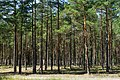 Forest in the Curonian Spit National Park, 2019-08-20-2.jpg