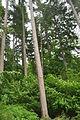 Forest of Dean near Symonds Yat (9768).jpg