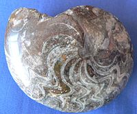 A polished Goniatite fossil
