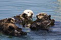 Four sea otters together.jpg