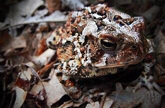 Anaxyrus fowleri - Image: Fowlers Toad