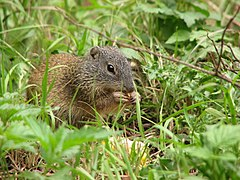 Franklin's Ground Squirrel.jpg