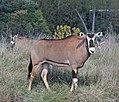Fringe eared oryx (2917732890).jpg