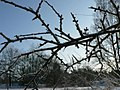 Frostbitten twig frosen tree.jpg