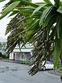 Fruit of Cordyline obtecta 'Emerald Goddess'.jpg