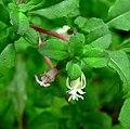 Fuchsia microphylla ssp hidalgensis 3.jpg