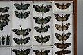 Fulgoridae Drawers - 5036713044.jpg