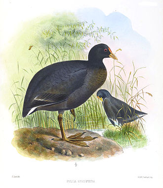 White-winged coot - Image: Fulica Leucoptera Smit