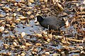 Fulica atra walking at creek in Hyogo, Saga 2018-01-20.jpg
