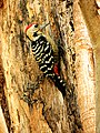 Fulvous Breasted Woodpecker.jpg