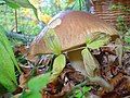 Fungi - BOLETUS in nature (Skrad-Rogi) - panoramio.jpg