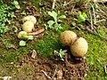 Fungus at Valparai Iypd.jpg