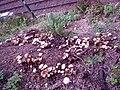 Fungus patch - geograph.org.uk - 971488.jpg