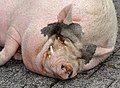 Göttinger Minischwein qtl2.jpg