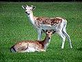 GOC Woburn 034 Fallow Deer (Dama dama), Woburn Deer Park (22801363249).jpg