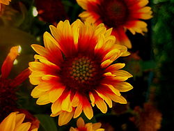 Common Gaillardia (Gaillardia aristata)