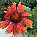 Gaillardia aristata public domain IMG 4968.jpg