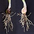 Galanthus nivalis Knolle 01.jpg