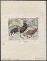 Gallus varius - 1700-1880 - Print - Iconographia Zoologica - Special Collections University of Amsterdam - UBA01 IZ17000077.tif