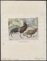 Gallus varius - 1700-1880 - Print - Iconographia Zoologica - Special Collections University of Amsterdam - UBA01 IZ17000077.tif