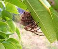 Garden orb weaver16.jpg