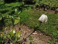 Gardenia (इन्द्रकमल) Gardenia jasminoides J. Ellis.jpg