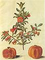 Gc7 Punica granatum fruits.jpg