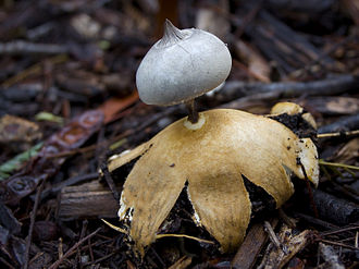 Peristome - The earthstar Geastrum pectinatum showing a beaked peristome