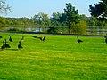 Geese in Vilas Park - panoramio (3).jpg