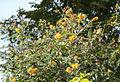 Gelber Schmetterlingsflieder (15815404532).jpg