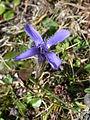 Gentiana ciliata flower.jpg