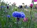 Gentle blue (939905659).jpg